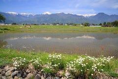 Padiegebied en bloem Royalty-vrije Stock Afbeeldingen