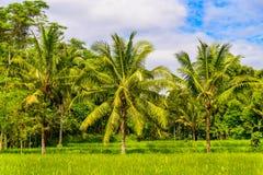Padiegebied met kokospalmen Stock Foto