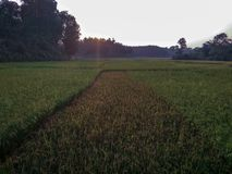Padiegebied met zonsondergangmening royalty-vrije stock afbeelding