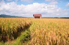 Padiegebied in purworejo Indonesië van het brenggongdorp Stock Fotografie