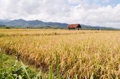 Padiegebied in purworejo Indonesië van het brenggongdorp Stock Foto's
