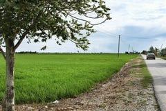 Padiegebied in Sekinchan royalty-vrije stock fotografie