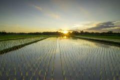 Padiegebied in Yogyakarta stock foto's