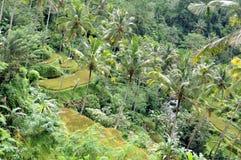 Padieveld in Bali Stock Foto