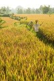 Padieveld in Bali Stock Foto's