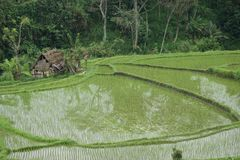 Padieveld in Bali, Indonesië Royalty-vrije Stock Afbeeldingen