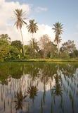 Padieveld in Bali met palmen Stock Afbeelding