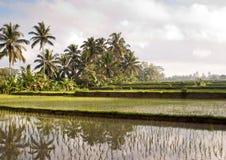Padieveld in Bali met palmen Stock Foto