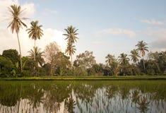 Padieveld in Bali met palmen Stock Fotografie