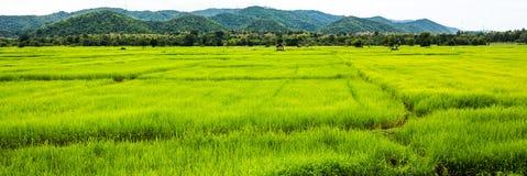 Padieveld, Chiang Mai Royalty-vrije Stock Fotografie