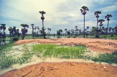 Padieveld en blauwe hemel van Kambodja stock fotografie