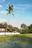Padieveld en palm Royalty-vrije Stock Foto
