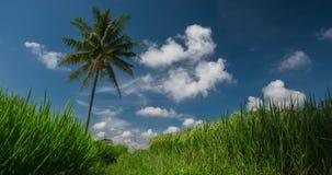 Padieveld en palm stock footage
