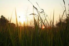 Padieveld en zonsondergang in de avond stock afbeelding