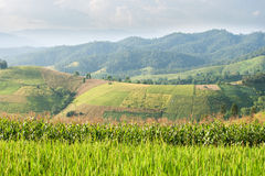 Padieveld met bergachtergrond stock foto's