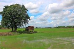 Padieveld met plattelandshuisje en boom Stock Foto