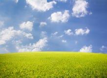 Padieveld op blauwe hemelachtergrond Stock Afbeelding