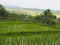 Padieveld op het terras in voorgrond, palmen en landbouwloods in Bali, Indonesië stock foto