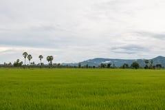 Padieveld op regenachtige seizoen en achtergrond van bergmist Stock Foto