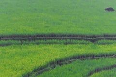 Padieveld in Sumedang, West-Java, Indonesië Stock Foto