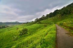 Padieveld vóór Regen, Java, Indonesië stock afbeelding