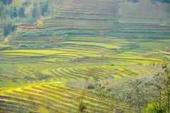 Padieveld in Vietnam royalty-vrije stock fotografie