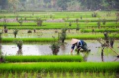 Padieveld in Vietnam Het padieveld van Ninhbinh Stock Afbeeldingen