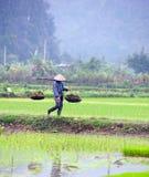 Padieveld in Vietnam Het padieveld van Ninhbinh Stock Foto