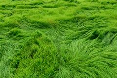 Padieveld voor groene achtergrond Royalty-vrije Stock Fotografie