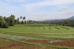 Padievelden in Bali Royalty-vrije Stock Afbeelding