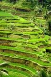 Padievelden, Bali, Indonesië Stock Afbeeldingen
