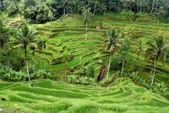 Padievelden, Bali, Indonesië Royalty-vrije Stock Foto's