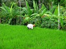Padievelden in Bali-Indonesië Royalty-vrije Stock Afbeeldingen