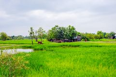 Padievelden, Kambodja royalty-vrije stock afbeeldingen