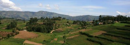Padievelden in Oeganda, Afrika Royalty-vrije Stock Foto's