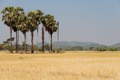 Padievelden op Bilu Eiland, Myanmar Stock Fotografie