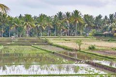 Padievelden op een regenachtig weer dichtbij Ubud, Bali Stock Foto's