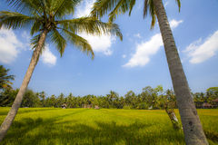 Padievelden op Eiland Bali Stock Foto's
