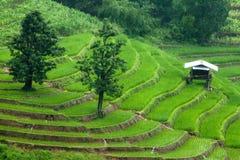 Padievelden op terrasvormig van Mu Cang Chai, YenBai, Vietnam Rijst F Stock Afbeeldingen
