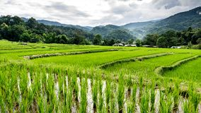 Padievelden op terrasvormige Chiangmai-provincie, het Noorden van Thailand royalty-vrije stock afbeeldingen