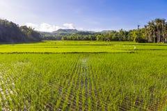 Padievelden Siquijor Filippijnen Stock Afbeelding