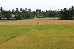 Padievelden in Tissamaharama in Sri Lanka Stock Foto