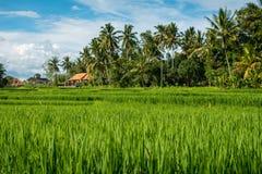 Padievelden in Ubud Royalty-vrije Stock Foto