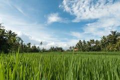 Padievelden in Ubud Stock Afbeeldingen