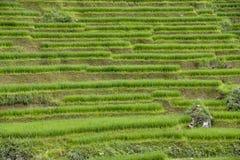 Padievelden van Sa-Pa in Vietnam Stock Foto's