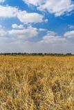 Padievelden in van West- India Bengalen stock afbeelding