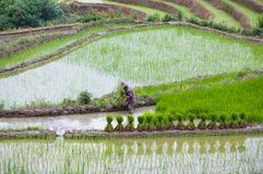 Padievelden in Yuanyang-provincie, Yunnan, China Royalty-vrije Stock Afbeelding