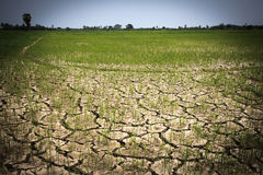 Padievelden zonder water in zomer Royalty-vrije Stock Foto's