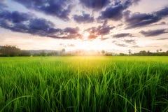 Padieveldlandschap op zonsondergang Royalty-vrije Stock Foto