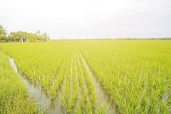 Padieveldlandschap, Paddy Field Landscape Royalty-vrije Stock Foto